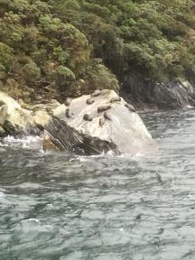 Fur seals doing their bit for NZ tourism